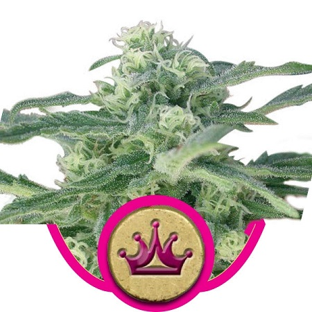 Royal Queen Seeds Special Queen #1 Feminized