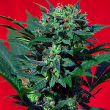 Sweet Seeds Speed Devil Auto Feminized