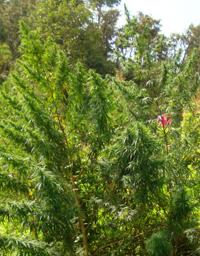 Sensible Seeds - Original Nepali Green Stem  Regular