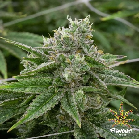 Flavour Chasers Seeds Stardawg Feminized