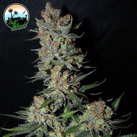 Strawberry Banana Smoothie - Feminized - Cali Weed