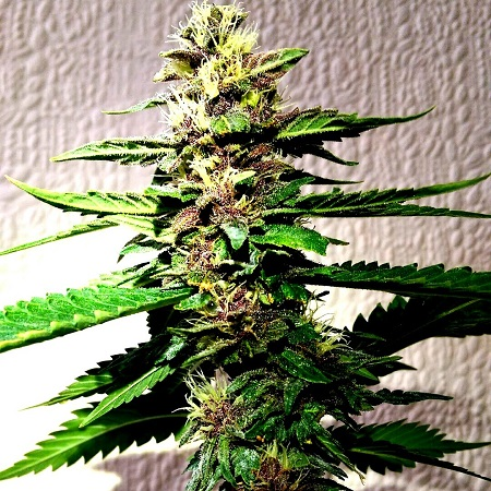 Holy Smoke Seeds Strawberry Diesel Dojo Regular