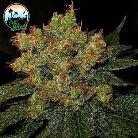 Strawberry Gelato - Feminized - Cali Weed