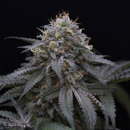 Humboldt Seed Organisation Sugar Breath Feminized