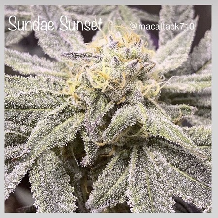 Sundae Sunset - Feminized - Cannarado Genetics