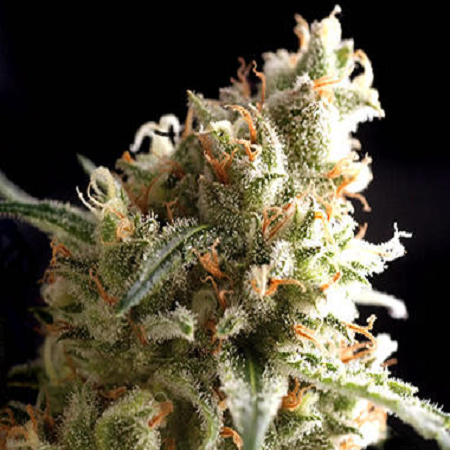Pyramid Seeds Super Hash Feminized