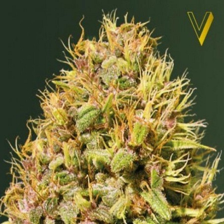 Victory Seeds Super Mazar Feminized
