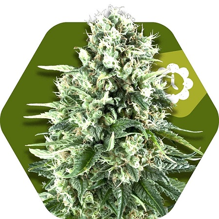 Zambeza Seeds Super Silver Haze Auto Feminized