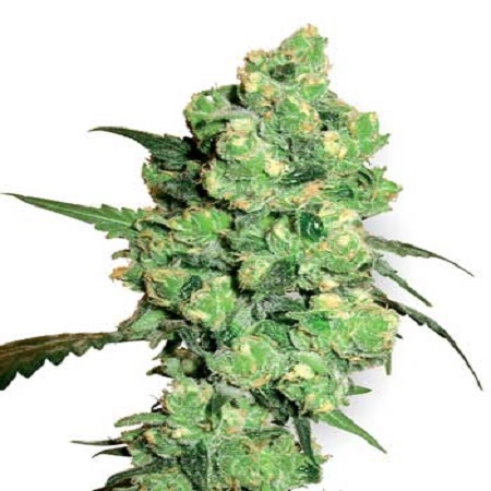 White Label Seed Company Super Skunk Feminized