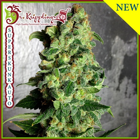 Dr Krippling Seeds Super Skunk Auto Feminized