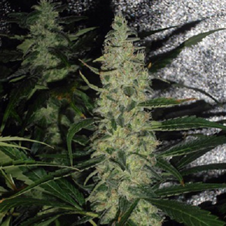Spliff Seeds Super Skunk Feminised (Gold)