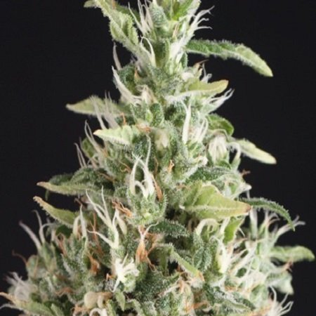 Pyramid Seeds Super OG Kush Feminized