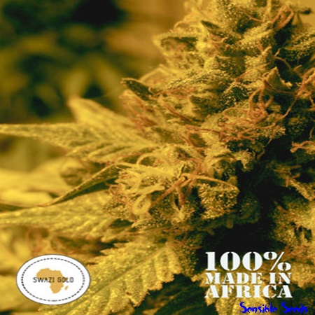 Seeds of Africa Swazi Gold Regular