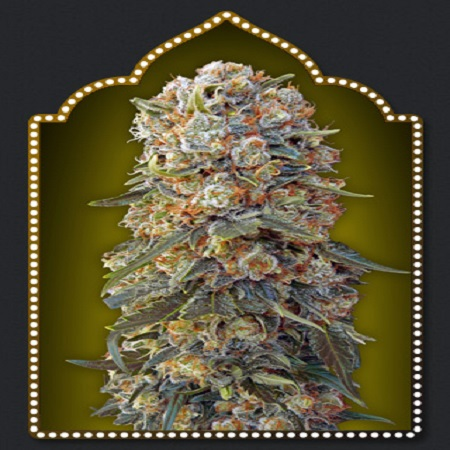 OO Seeds Sweet Critical Feminized