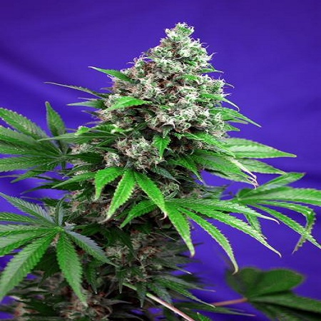 Sweet Seeds Killer Kush Fast Feminized