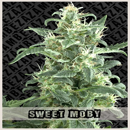 Zambeza Seeds Sweet Moby Feminized