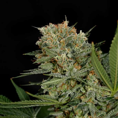 Garden of Green Seeds Sweet Russian Feminized