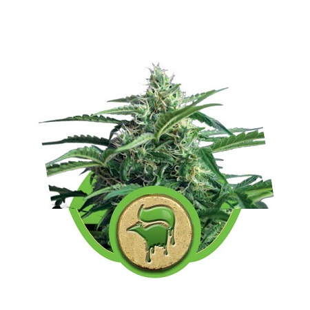 Royal Queen Seeds Sweet Skunk Automatic Feminized