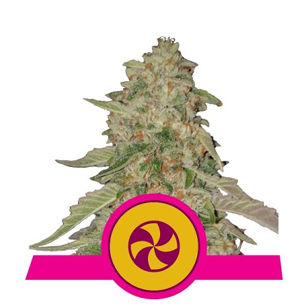 Royal Queen Seeds Sweet Zkittlez Feminized