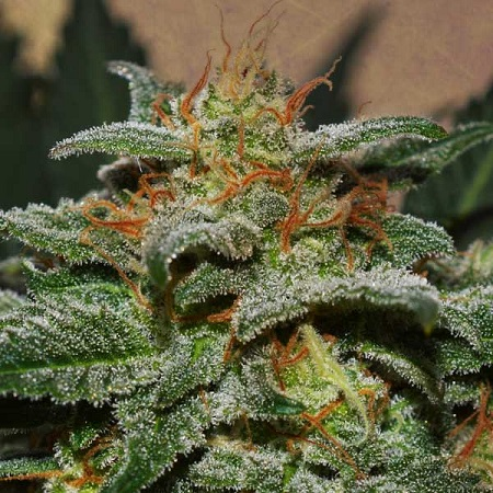 Sweetberry Cough Auto – Feminized – Garden of Green