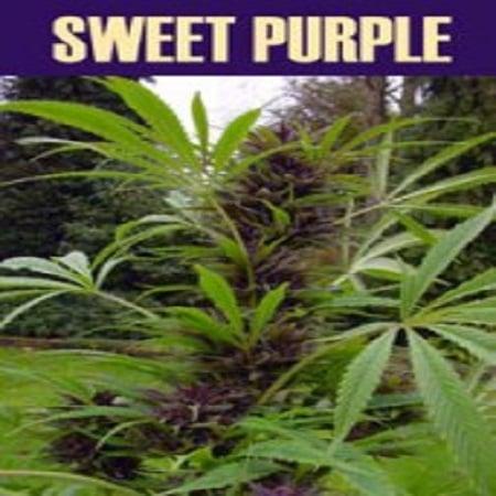 Paradise Seeds Sweet Purple Feminised