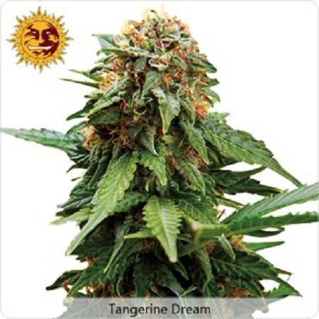 Barney's Farm Seeds Tangerine Dream Feminized (PICK N MIX)