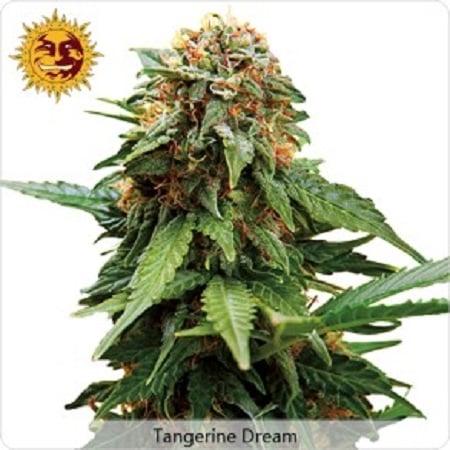 Barney's Farm Seeds Tangerine Dream Feminized