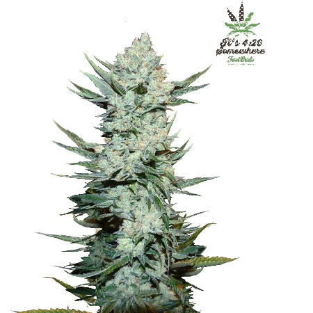 FastBuds Seeds Tangie'matic Auto Feminized