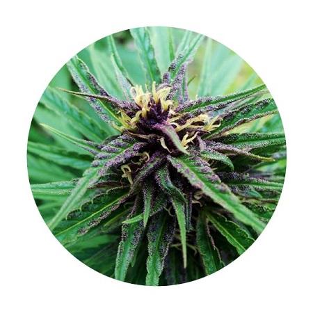 Top Tao Seeds Purple Tao Regular