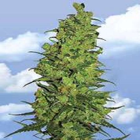 Flying Dutchmen Seeds Temple Haze Feminized