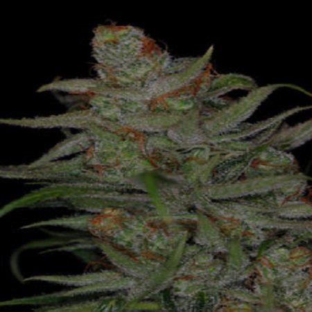 TGA Subcool Seeds Jack Skellington Regular