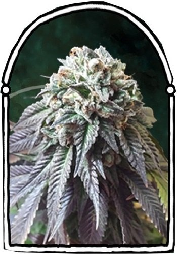 The KushBrothers Seeds The Dark Side Feminized (PICK N MIX)