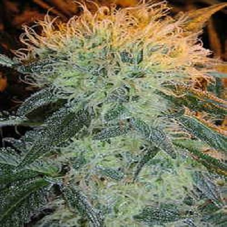 Flying Dutchmen Seeds The Pure Regular
