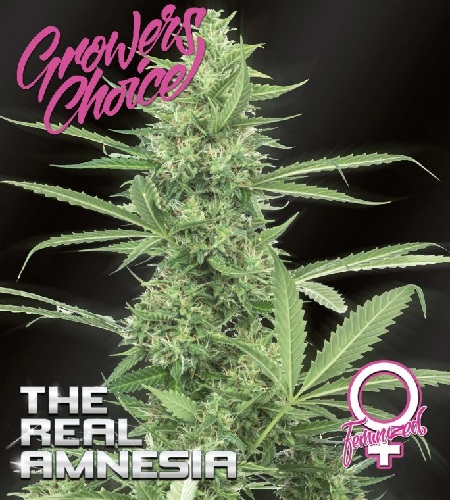 The Real Amnesia - Feminized - Growers Choice