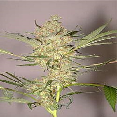 Flying Dutchmen Seeds The Real McCoy Regular