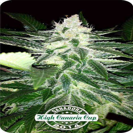 Dispensario Seeds Therapy Queen Feminized