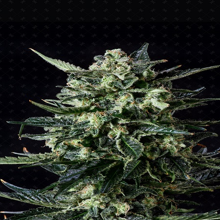 Genofarm Seeds Thunder Haze Auto Feminized (PICK N MIX)