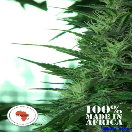 Seeds of Africa Transkei Regular