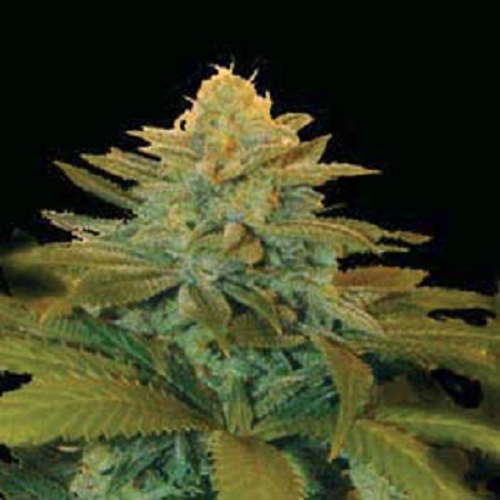 Genehtik Seeds Txees Bilbo Feminised (PICK N MIX)