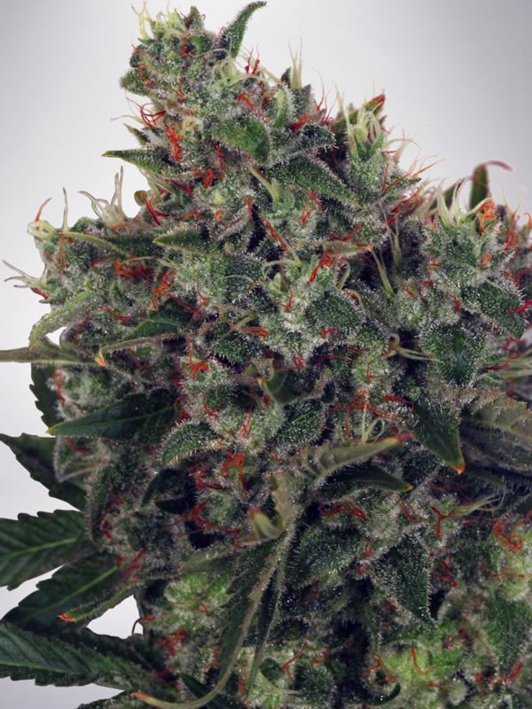 Ministry of Cannabis Seeds Ultra White Amnesia Feminised