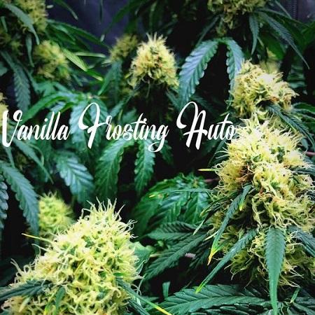 Vanilla Frosting Auto - Feminized - Tastebudz