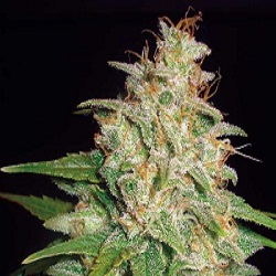 World of Seeds Medical Collection Mazar x White Rhino Feminized
