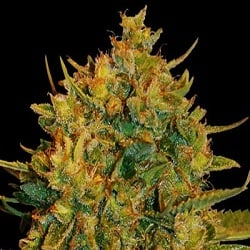 World of Seeds Medical Collection Northern Lights x Big Bud Feminized
