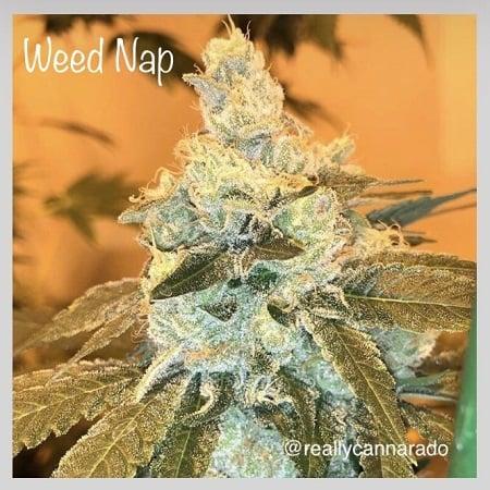 Weed Nap - Feminized - Cannarado Genetics
