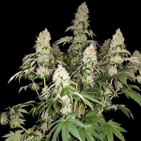 Sumo Seeds White Caramel Cookie Feminized