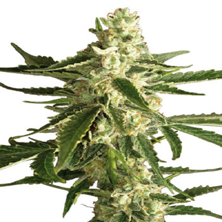 White Label Seed Company White Diesel Haze Automatic Feminised