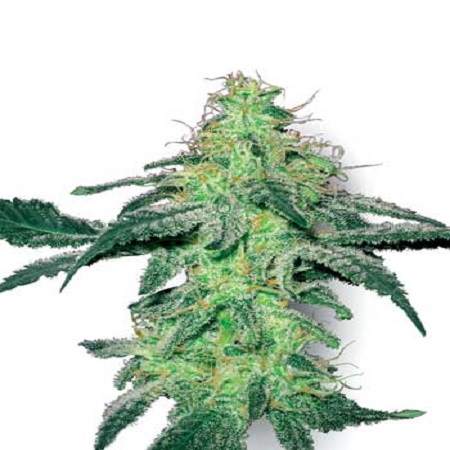White Label Seed Company White Skunk Feminised