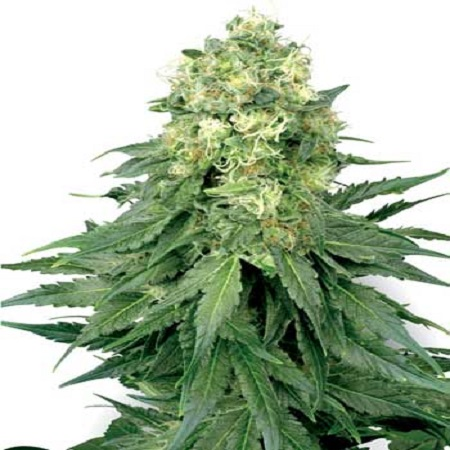 White Label Seed Company White Widow Feminized