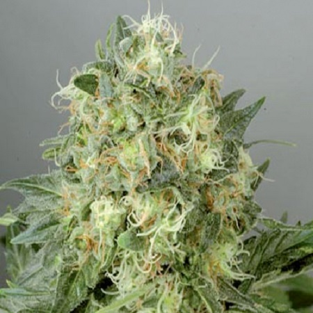 De Sjamaan Seeds White Widow Feminised