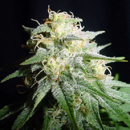 Spliff Seeds White Widow Automatic Feminised (Gold)